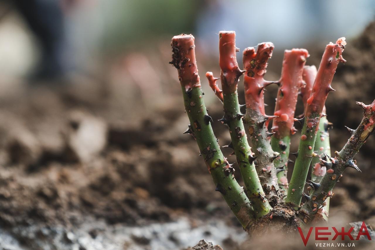"""""""Ніби картоплю"""": вінницькі школярі висаджують сотні кущів троянд. ФОТО"""