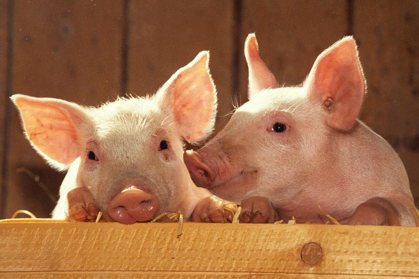 Вінницьку свинину заборонили ввозити у Білорусь