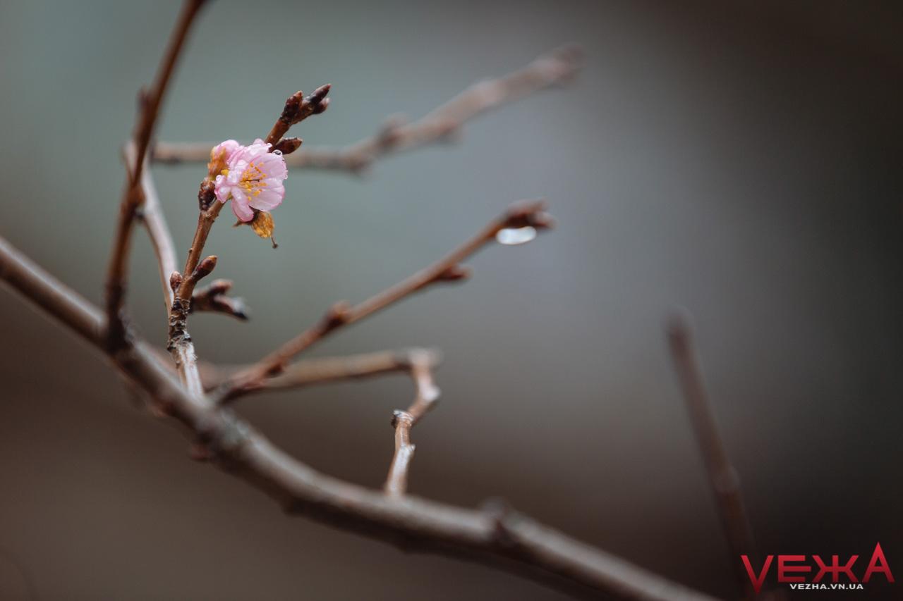 """Дуже рання """"весна"""": у Вінниці розцвіли сакури. ФОТО"""