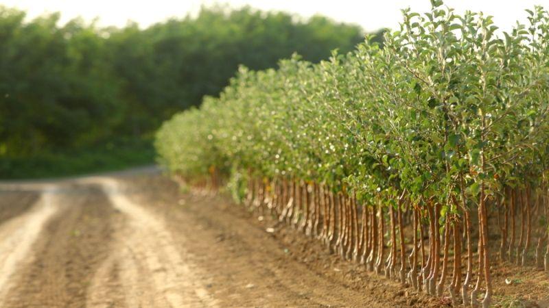 Нові джерела енергії: у Вінницькій області вирощують енергетичні верби