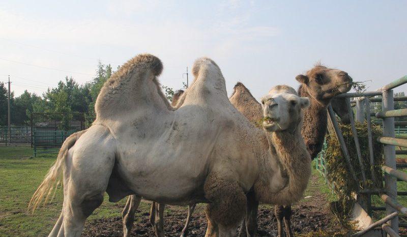 """У """"Подільському зоопарку"""" оселився верблюд. ФОТО"""