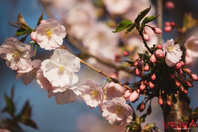 На Замостянській висадили останні дерева – сакури. ВІДЕО, ФОТО