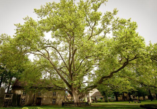 Сакури, платани, клени та акації: У Вінниці планують висадити понад 700 дерев