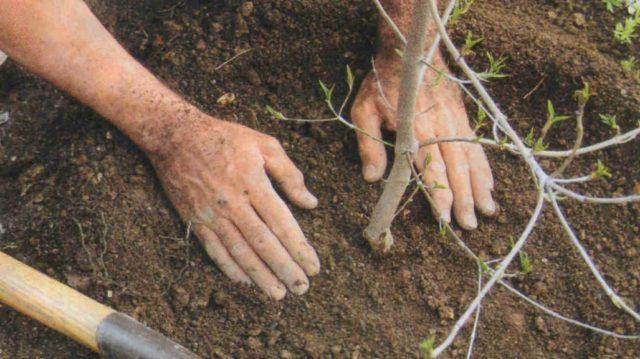 У центрі Вінниці висадять 20 нових дерев замість засохлих і повалених
