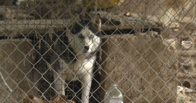 Концтабір для собак: у Вінниці виявили ветеринарку, яка знущалась над тваринами у власному подвір'ї. ВІДЕО