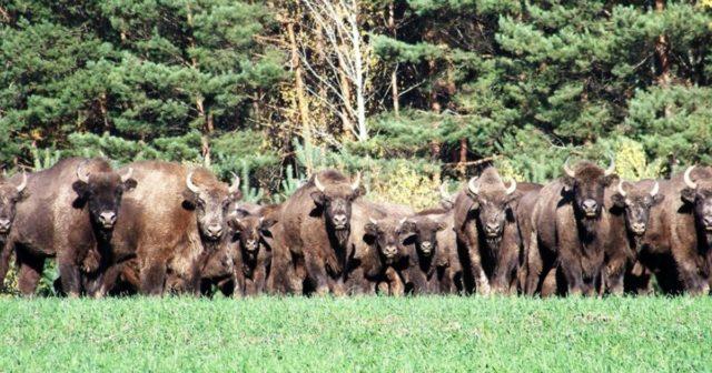 Забагато зубрів: з Вінниччини переселяють тварин до інших областей