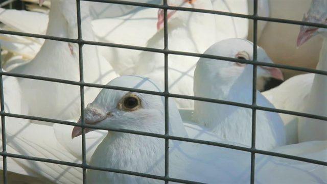 За жорстоке поводження з голубами вінничанина оштрафували на понад 5 тисяч