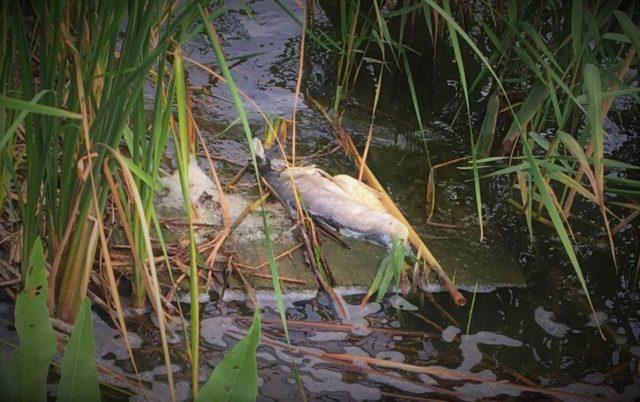Щоб не гинула риба, дно Вишенського озера можуть залити вапном. ВІДЕО