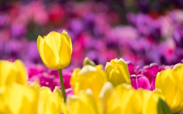 """Білі, рожеві, жовті та фіолетові: """"Вінницязеленбуд"""" планує закупити 40 тисяч тюльпанів"""