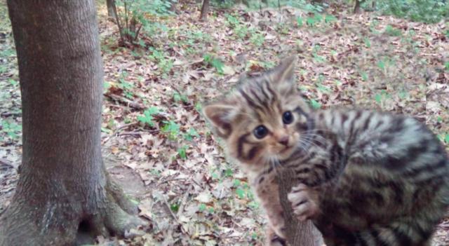 Хижі пухнастики: на Вінниччині зростає популяція лісових котів. ВІДЕО