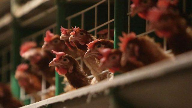 Євросоюз призупинив імпорт м'яса птиці з України через пташиний грип на Вінниччині