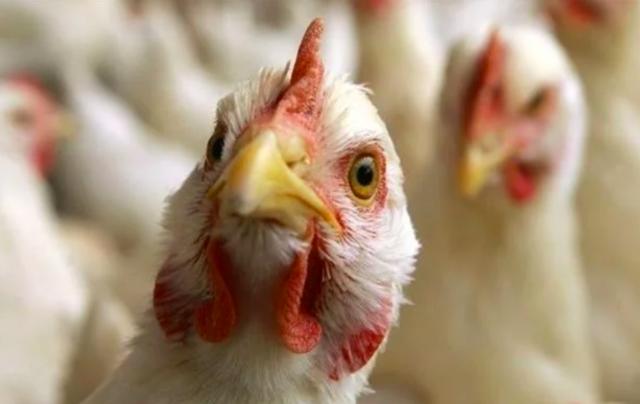 Пташиний грип на Вінниччині: Держспоживслужба закликає не купувати курей та яйця з рук