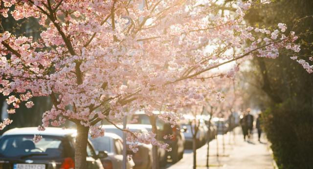 Весна перемагає: у Вінниці розцвіли сакури. ФОТОРЕПОРТАЖ