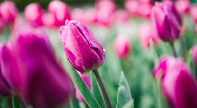 У Центральному парку Вінниці розквітли 40 тисяч тюльпанів. ФОТОРЕПОРТАЖ