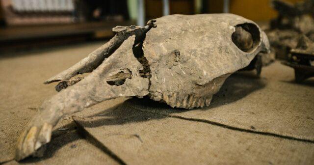 """""""Ой, чий то кінь… лежить"""": у Вінниці знайшли скелет з 18 століття. ФОТО"""