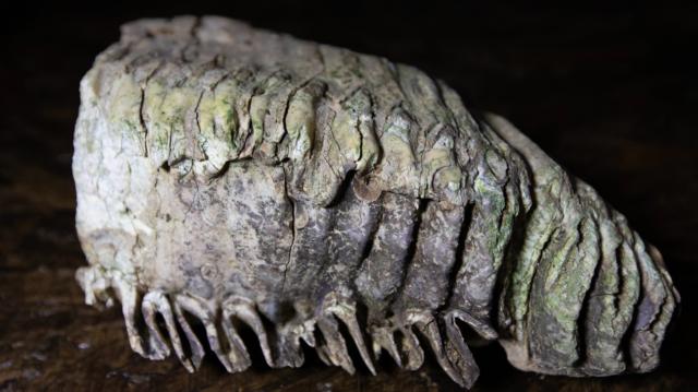 На Вінниччині знайшли зуб мамонта, якому майже 200 тисяч років. ФОТО