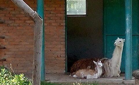 """У """"Подільському зоопарку"""" у Вінниці народилась лама"""