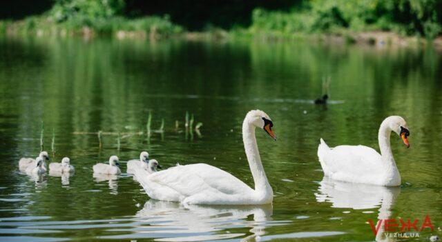 У пари лебедів з озера на Тяжилові з'явилося потомство. ФОТО