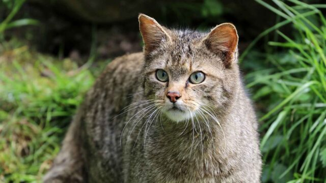 За рік у Вінницькій області нарахували 25 лісових котів
