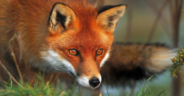 На вулицях та біля багатоповерхівок: у Вінниці знову помітили лисиць. ВІДЕО