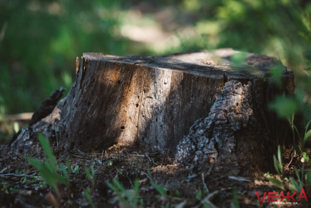 Крадіжка лісу: як на Вінниччині «процвітає» незаконна рубка дерев